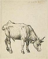 Young Steer, durer