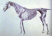 Diagram from The Anatomy of the Horse, stubbs